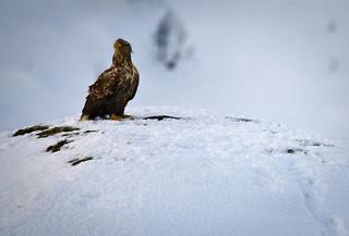 L'àguila sobre la neu / Eagle in the snow