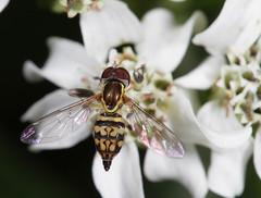 HFDF 2/15/19 (2) (cotinis) Tags: insect diptera hoverfly syrphidae syrphinae toxomerus toxomerusgeminatus northcarolina piedmont canonef100mmf28macrousm fridayflyday