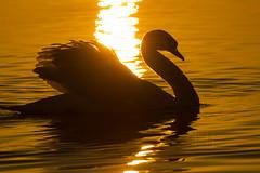 Schwan im goldenen Abendlicht (schnuffelkind1) Tags: langenargen badenwürttemberg deutschland bodensee schwan wasser abendlicht canon sigma tier