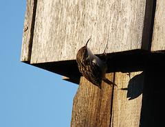 Baumläufer als Fassadenkletterer (binaryCoco) Tags: vogel bird sonne sunlight licht frühling light springtime tier animal natur nature feathers feders wings flügel baumläufer treecreeper