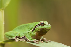 Hyla arborea (ThP.Photography) Tags: hyla laubfrosch fauna frühling frosch frog grün green germany wildlife westerwald wilde canon canonfotografie colorful closeup 100mm sony makro makrofotografie magic natur naturfotografie nature animals amphibie amphibien