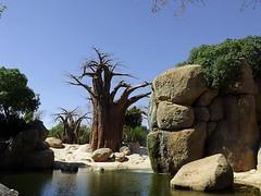 Sabana (MarisaTárraga) Tags: españa spain valencia bioparc zoo sabana arbol tree verde green naturaleza nature fujifilmsl300 agua water cascada baobab
