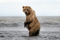 _HB31256 (Hilary Bralove) Tags: lakeclarknationalparkbrownbearsbearsalaskanikonwildlifegrizzlygrizzlybearbrownbearanimalswildlifephotographer alaksa brownbears grizzlybears bear bears grizzly brownbeargrizzly bearlake clarkwildlifealaska wildlifenikonlake clark national park
