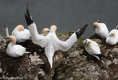 It was this big (Katy Wrathall) Tags: spring gannet england march 36560 eastyorkshire bird 2019pad bemptoncliffs 2019 eastriding rspb