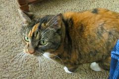 Gracie 25 February 2019 2473Ri 4x6 (edgarandron - Busy!) Tags: gracie patchedtabby cat cats kitty kitties tabby tabbies cute feline