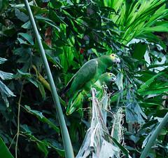 Parrots pair at Munich zoo (anedashkovsky) Tags: zoo munich parrot bird