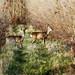 Chevreuils : chevillards - Phalempin - Roe deer