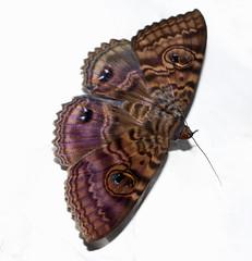 Granny's Cloak moth (WinRuWorld) Tags: speiredoniaspectans moth hexapoda fauna insect invertebrate lepidoptera erebidae noctuoidea grannyscloakmoth mothsofaustralia australia nsw newsouthwales purple canon canonphotography macro macrophotography onwhite