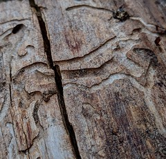 Week 15 - Wood (sonear) Tags: wood weeklyphotochallenge2019 worms bark patterns