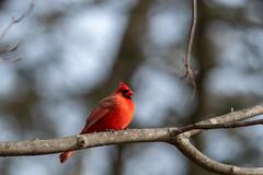 arcadia2019-41 (gtxjimmy) Tags: nikond7500 nikon d7500 arcadiawildlifesanctuary massaudubon audubonsociety newengland massachusetts easthampton tamron 150600mm cardinal northerncardinal bird