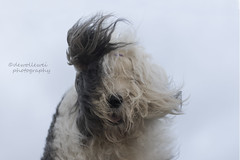 wind hoofd (dewollewei) Tags: oldenglishsheepdog oldenglishsheepdogs old english sheepdog sheepdogs dewollewei scarlett wind storm heavy dog