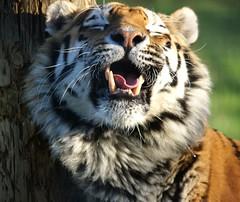 Yorkshire Wildlife Park ...17.01.2019 298 (Andrew Burling (SnapAndy1512)) Tags: yorkshirewildlifepark17012019 yorkshirewildlifepark yorkshire amurtiger tiger bigcats animals zoo