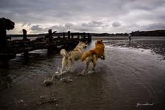 (nathanaelyon) Tags: nikond5300 bretagne mer goldenretriever huskies chien