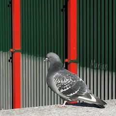 2019.02.02.UrbanBird. Huawei (MarianDiazRAM) Tags: urbanbird huaweip10 palomadoméstica aves madrid madridrio