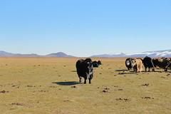 Half yak, half cow (iorus and bela) Tags: bela iorus mongolia vakantie holiday 2018 transmongolieexpress transmongoliaexpress orkhonvalley yak landscape