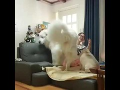 Look How Huge is This Dog - Amazing Animals (tipiboogor1984) Tags: aww cute cat funny dog youtube