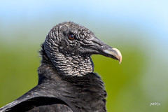 Black Vulture (jt893x) Tags: 150600mm bird blackvulture coragypsatratus d500 jt893x nikon nikond500 portrait profile raptor sigma sigma150600mmf563dgoshsms vulture thesunshinegroup alittlebeauty coth coth5