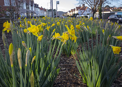 DAffs l (rhianwhit) Tags: flowers daffodils welsh wales blooms street bed yellow