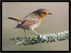 ROBIN (PHOTOGRAPHY STARTS WITH P.H.) Tags: robin stover park south devon nikon d500 300mm 28 g ii sb800 for fill wimberley flash rig gitzo mk5