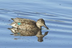 Green-winged Teal (female) (christopheradler) Tags: california greenwinged teal anas carolinensis
