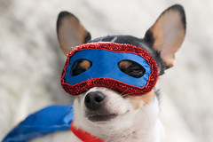 The Mask (Cindy's Here) Tags: themask peanut chihuahua lookingcloseonfriday macro 100xthe2019edition 100x2019 image14100