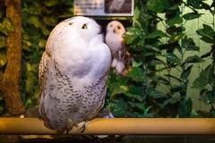 028 (J. Yen) Tags: owl 貓頭鷹