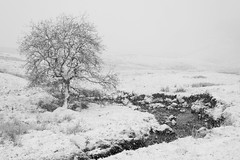 Caught in a blizzard (www.peterhenryphotography.com) Tags: snow cold blizzard monochrome tree lonetree spring lakedistrict cumbria snowstorm
