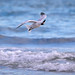 An upside down Sandwich tern shaking off water in flight after taking bath at sunset at Whitney beach on Longboat Key near Sarasota, Florida