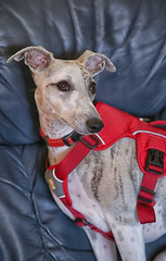 52 in 2019 Challenge - #17  Pet (crafty1tutu (Ann)) Tags: challenge 52in2019challenge 17pet animal dog whippet crafty1tutu canon5dmkiii canon24105lserieslens anncameron