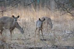 White-tailed Deer (astro/nature guy) Tags: illinoiswildlife illinoisdeer deer wildlife whitetaileddeer urbanadeer urbanawildlife meadowbrookparkdeer meadowbrookparkwildlife meadowbrookpark