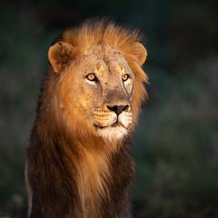 Male lion looking into the night (Wim Hoek) Tags: safari man nachtfotografie zimangagamereserve leeuw mammals afrika africa lion nightphotography nighttimephotography pantheraleo uphongolonu kwazulunatal southafrica za