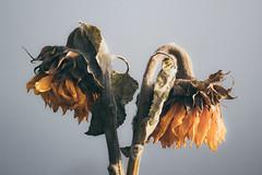 Dead Sunflower (indira.villegas.alvir) Tags: flower nature dead sunflower yellow canon canont6