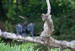 Snakebird (Mabacam) Tags: 2019 costarica tortuguero tortugueronationalpark birds beaks wings feathers anhinga snakebird darter waterturkey