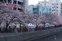 IMGP4410 (kirinoa) Tags: 神奈川県 横浜市 日ノ出町 黄金町 大岡川 桜