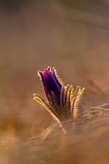 Parée d'or (heijoelle) Tags: printemps fleur macro nature france matinée moselle delme anémonepulsatille lorraine macrophotographie