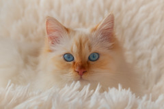 Softness (FocusPocus Photography) Tags: tofu dragon kater cat decke blanket katze weich soft tier animal haustier pet blaueaugen blueeyes