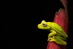Tree Frog On Leaf Close-Up (worm600) Tags: animal ecuador frog treefrog polkadottreefrog