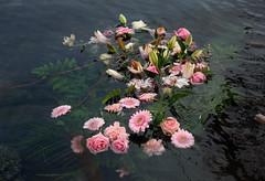 Drowning beauty (bohelsted) Tags: rødovre lake em5markii 1260 leicadg varioelmarit drowning water flowers damhussøen