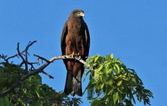 Black Kite (Milvus migrans) (Susan Roehl) Tags: madagascar2017 islandofmadagascar offtheeastcoastofafrica berentyreserve blackkite milvusmigrans bird animal mediumsized accipitridaefamily diurnal abundant 6million opportunistic scavengers soaringandgliding angledwing forkedtail shrillcall eatsfish carrion eatbirds bats rodents sueroehl photographictours naturalexposures panasonic lumixdmcgh4 100400mmlens handheld greatlycropped tree sky forest coth5 ngc npc