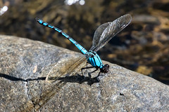 Arrowhead Rockmaster (Diphlebia nymphoides) 04 (Geoffrey Walker) Tags: damselfly dragonfly insects rockmaster