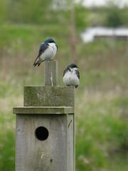 New home buyers (reifelbirdsanctuary) Tags: tachycinetabicolor georgecreifelmigratorybirdsanctuary