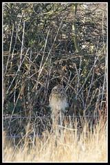 IMG_0017 Short-eared Owl (Record Shot) (Scotchjohnnie) Tags: shortearedowl asioflammeus birdofprey ornithology bird birdphotography birdwatching ukbirds wildlife wildanimal wildlifephotography wildandfree nature naturephotography canon canoneos canon7dmkii canonef100400f4556lisiiusm scotchjohnnie