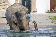 Elephant self shower (Tambako the Jaguar) Tags: elephant asiatic asian female cow water bathing trunk shower surface portrait munich münchen hellabrunn zoo germany nikon spilling drops d850