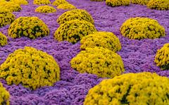 Blütentraum 1 (KaAuenwasser) Tags: chrysanthemen blüten blütenmeer blumen pflanzen deko farben bunt farbig blütentraum traum gelb ngc