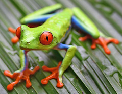 DSC_7675 PS (Christopher Lane Photography) Tags: costa rica vacation central america beauty beautiful tropical exotic beach la paz waterfall gardens redeyed tree frog colorful leaf amazing
