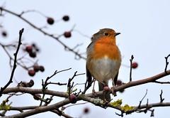 Posing. (pstone646) Tags: robin nature animal bird wildlife tree perching bokeh stodmarsh kent fauna wings