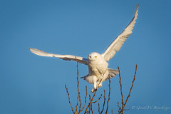 Snowy Owl (Turk Images) Tags: nycteascandiaca snowyowl alberta birds holden owls snow strigidae winter prairies
