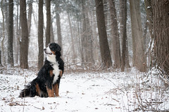 The adventures of Bear (rmikulec) Tags: bernese mountain dog bear nature animal puppy breed winter snow cold hike weather branch sony a7rii 100400gm