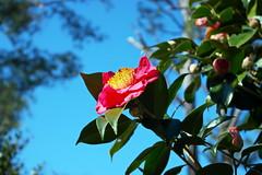 'Rose of Winter' (Jim Atkins Sr) Tags: camelliajaponica roseofwinter commoncamellia camellia tsubaki flower evergreen fairfieldharbour northcarolina japanesecamelia