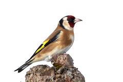 Goldfinch (Lt_Dan) Tags: goldfinch bird wildlife animal